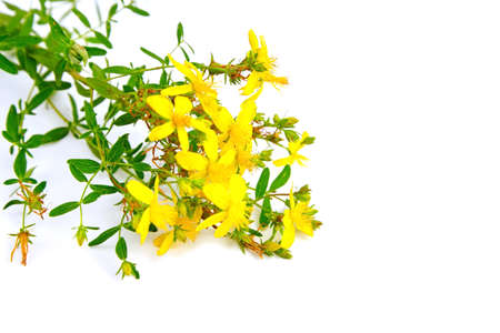 St. John's wort (Hypericum perforatum) isolated on white background. Flowering plant, flower with yellow petals, healing herb