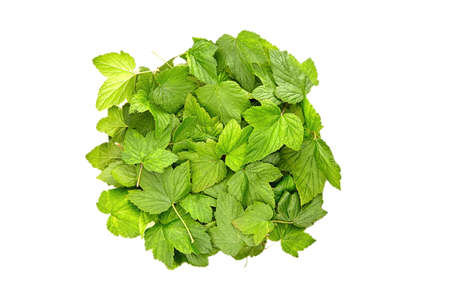 Currant leaves heap isolated on white background. Green fresh berries foliage.