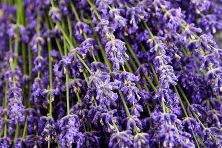 Purple floral background - fresh lavender flowers texture