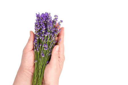 Natural lavender flowers bunch in hands isolated on white background