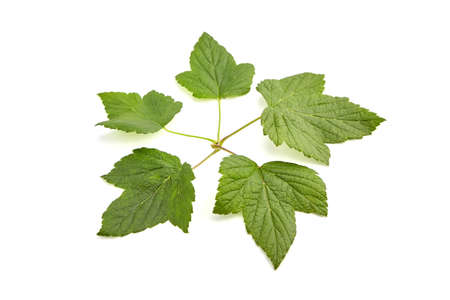 Green fresh currant leaves isolated on white background. Black currant berries foliage.