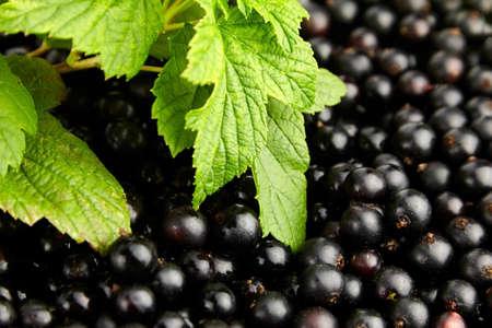 Black currant fresh berries closeup with green leaves, healthy vegan food, summer vitamins food