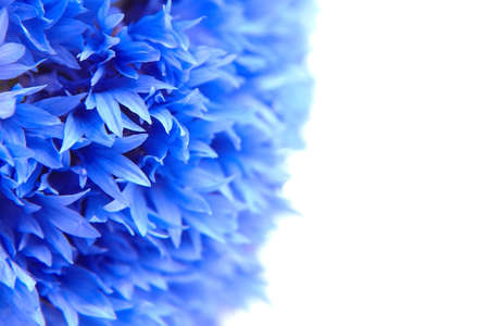 Floral background - blue cornflower petals closeup isolated on white background Stock fotó