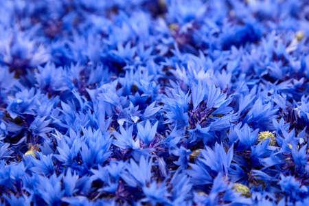 Floral background - blue fresh cornflower flowers closeup, soft focus