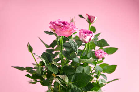 Pink roses, houseplant, indoor flowers, interior plant on pink background, closeup, selective focus