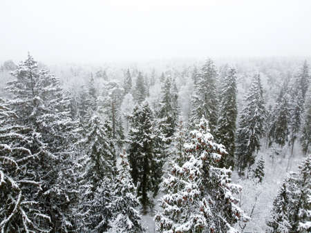 Winter forest with snowy trees, aerial view. Winter nature, aerial landscape, trees covered white snow