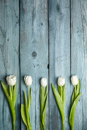 White tulips on light blue wooden background. Fresh spring flowers. Tulips with white petals