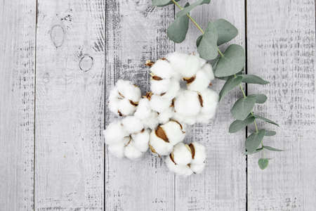 Cotton plant white flowers and green eucalyptus leaves on gray wooden background, top view. Natural soft cotton and fresh eucalyptus branch