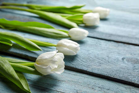 White tulips on light blue background with copy space. Row fresh spring flowers on wooden table