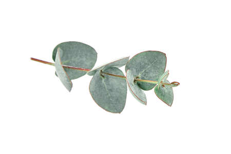 Eucalyptus leaves isolated on white background. Fresh green eucalyptus foliage
