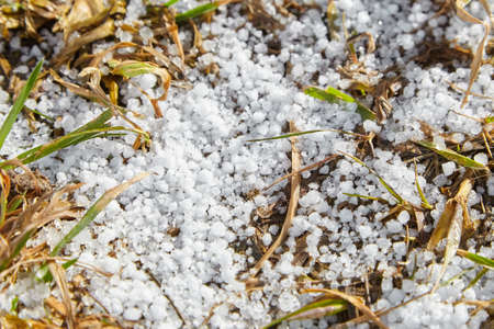 Snow pellets, graupel on the ground. Form of precipitation falls in winter storms. Graupel has shape of small white balls. Soft hail on grass