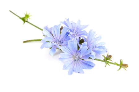 Chicory flower isolated on white background. Plant with bright blue flowers