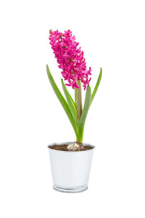 Hyacinth flower in tin pot isolated white background. Spring magenta flower, potted plant Imagens