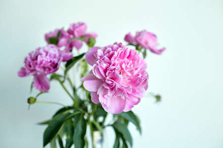 Bouquet of pink peony flowers in glass vase on white wall background. Fresh peony with green stem and leaves