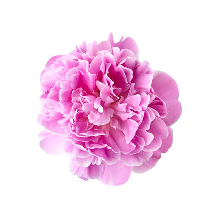 Pink peony flower isolated on white background. Fresh peony head with pink petals, top view
