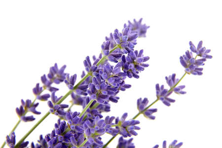Lavender flowers isolated on white background. Fresh purple summer flowers closeup Standard-Bild