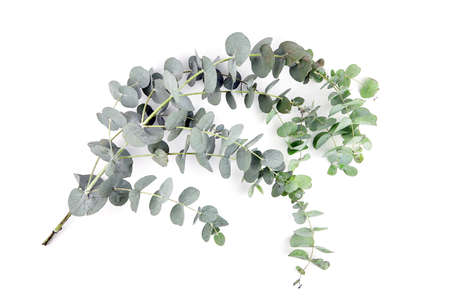 Eucalyptus leaves isolated on white background. Fresh green eucalyptus branch
