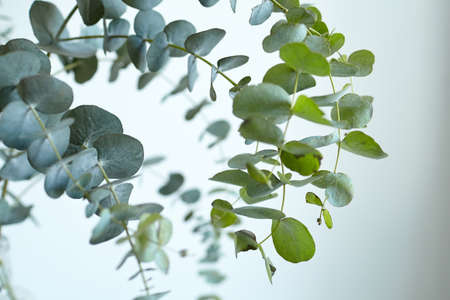 Eucalyptus leaves on white wall background. Fresh green eucalyptus branch, interior decor Standard-Bild