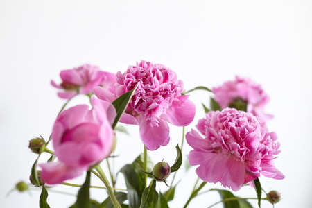 Bouquet of pink peony flowers on white wall background. Fresh peony with green stem and leaves Standard-Bild