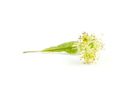 Linden tree flowers isolated on white background. Basswood blossom. Linden herbal tea ingredient