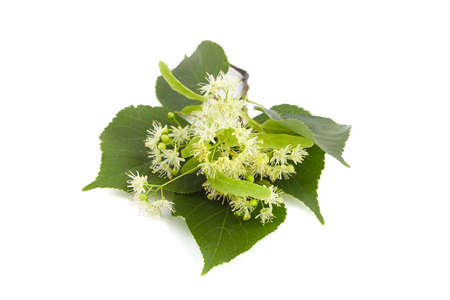 Linden tree flowers with green leaves isolated on white background. Basswood blossom. Linden herbal tea ingredient Standard-Bild