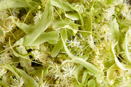Linden flowers as a background closeup. Fresh tilia (basswood tree) flowers, view from above Standard-Bild