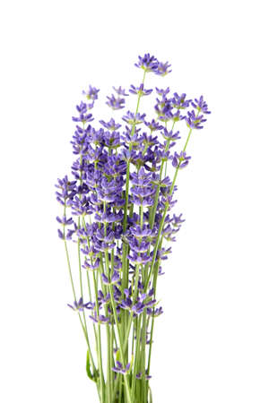 Lavender flowers stems with green leaves isolated on white background. A bunch of lavender herbs, purple aroma flowers