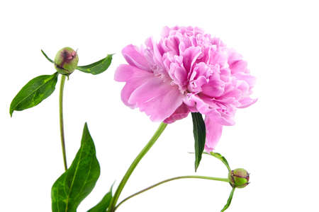 Pink peony flower isolated on white background. Fresh peony with green stem and leaves Standard-Bild