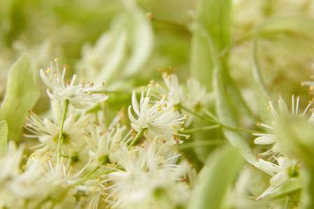 Linden flowers as a background closeup. Fresh tilia (basswood tree) flowers Standard-Bild