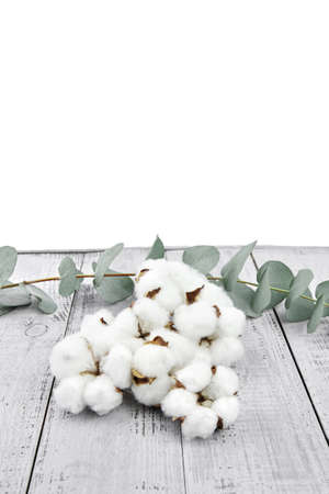 Cotton flowers and green eucalyptus twig on gray wooden table on white background. Soft cotton plant and fresh eucalyptus foliage