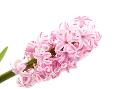 Pink Hyacinth flower isolated white background, closeup