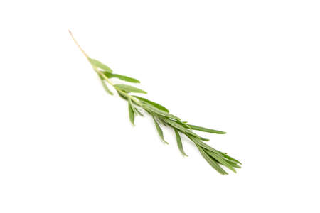 Lavender herb plant with green leaves isolated on white background. Fresh stem