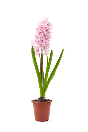 Pink Hyacinth flower in pot isolated white background. Potted plant 免版税图像