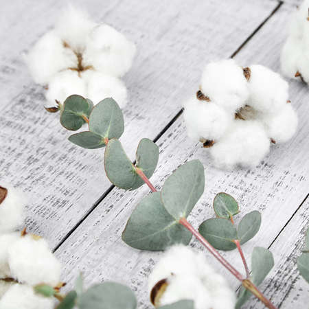 White cotton flowers and green eucalyptus twig on gray wooden background. Soft cotton plant and fresh eucalyptus foliage