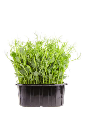 Fresh microgreens in black tray isolated on white background. Young pea shoots, healthy food 免版税图像