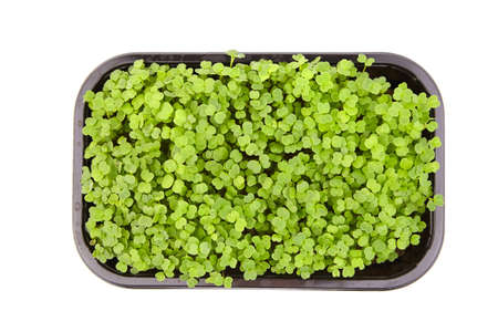 Fresh microgreens in black tray isolated on white background, top view. Young arugula shoots, healthy food 免版税图像