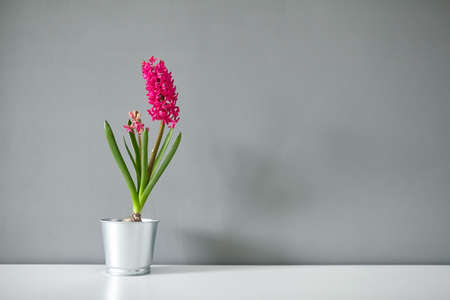 Hyacinth flower in tin pot on white table. Spring magenta flower, potted plant on gray wall background