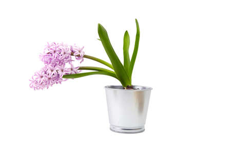 Purple Hyacinth flower in tin pot isolated white background. Potted plant