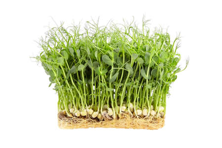 Fresh microgreens isolated on white background. Young pea shoots, healthy food