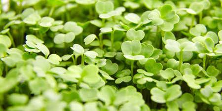 Fresh microgreens background. Young arugula green shoots, healthy food, macro 免版税图像