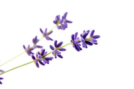 Lavender flowers isolated on white background. Fresh purple summer flowers closeup 免版税图像
