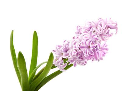 Purple Hyacinth flower isolated white background, closeup 免版税图像