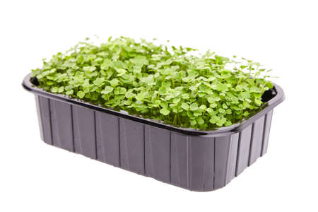 Fresh microgreens in black tray isolated on white background. Young arugula shoots, healthy food 免版税图像