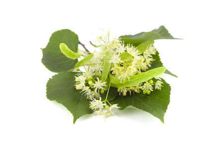 Linden tree flowers with green leaves isolated on white background. Basswood blossom. Linden herbal tea ingredient 免版税图像