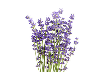 Bunch of purple lavender flowers isolated on white background. Fresh lavender flowers closeup