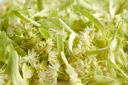 Fresh linden (tilia) flowers, closeup. Fragrant flowers