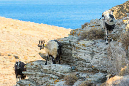 roaming: Free roaming goats on a rocky cliff at Kythnos, Greece Stock Photo