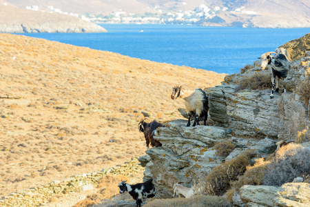 hircus: Free roaming goats on a rocky cliff at Kythnos, Greece Stock Photo
