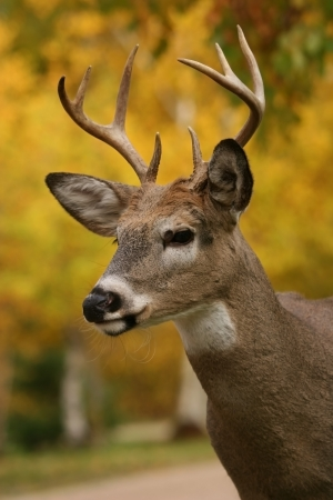 white tail deer: white tail deer buck Stock Photo
