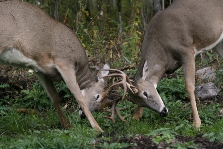 battling: male white tail deer fighting
